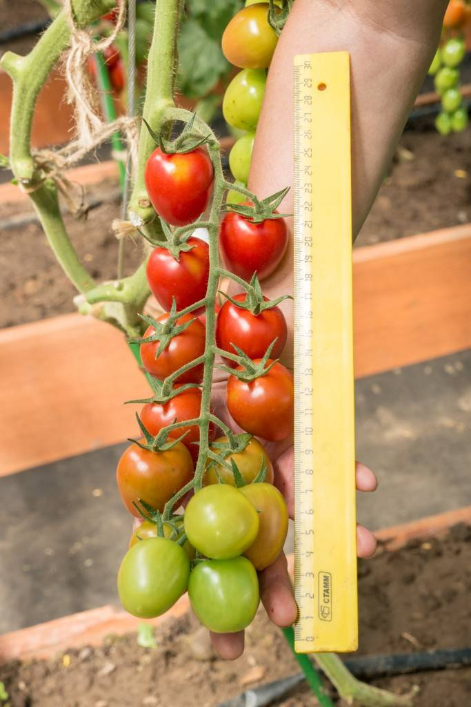 Томат черри ира f1 — описание сорта, отзывы, урожайность