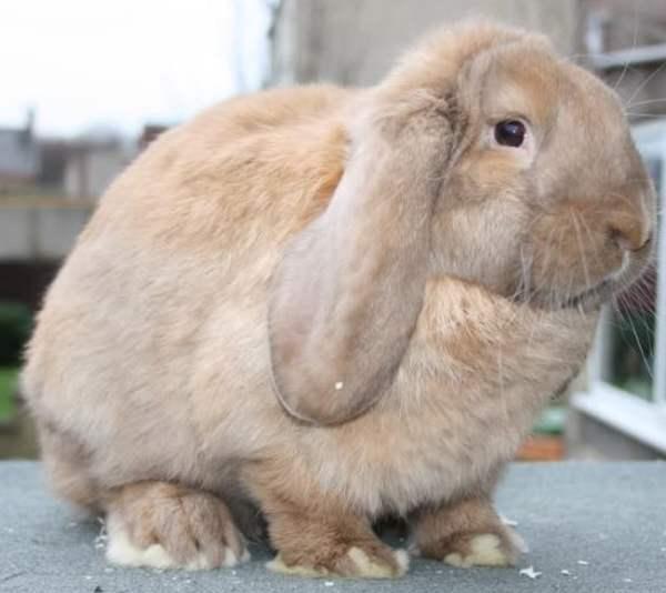 Кролик баран: описание и характеристика породы, уход и содержание, отзывы