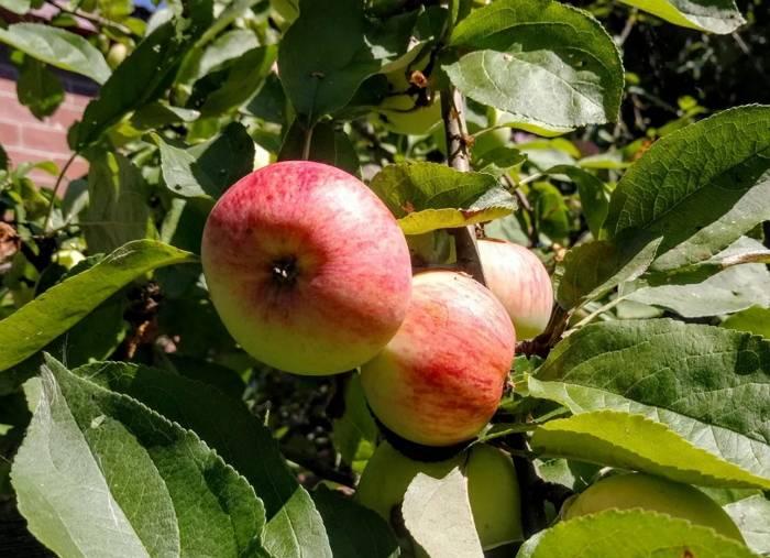 Яблоня грушовка ранняя: описание сорта и его фото selo.guru — интернет портал о сельском хозяйстве