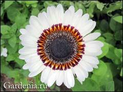 Венидиум фото. венидиум: выращивание из семян, когда сажать