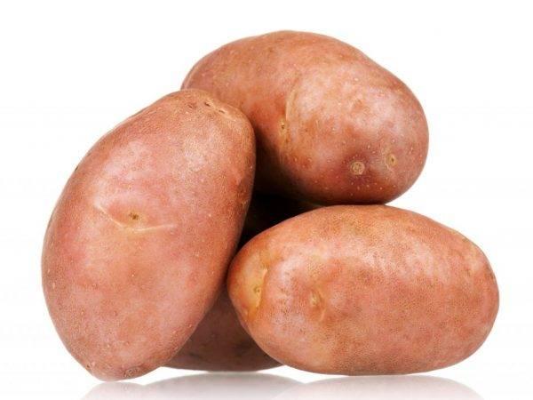 Описание картофеля сынок - мыдачники