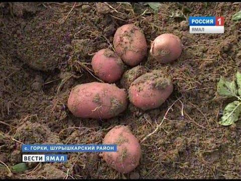 Описание и характеристика сорта картофеля беллароза, посадка и уход