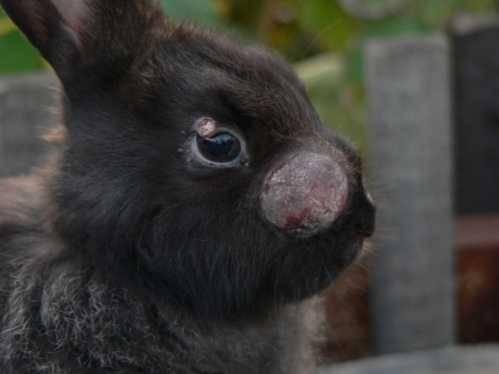 Вакцинация кролика от вирусных болезней — миксоматоза и вгбк