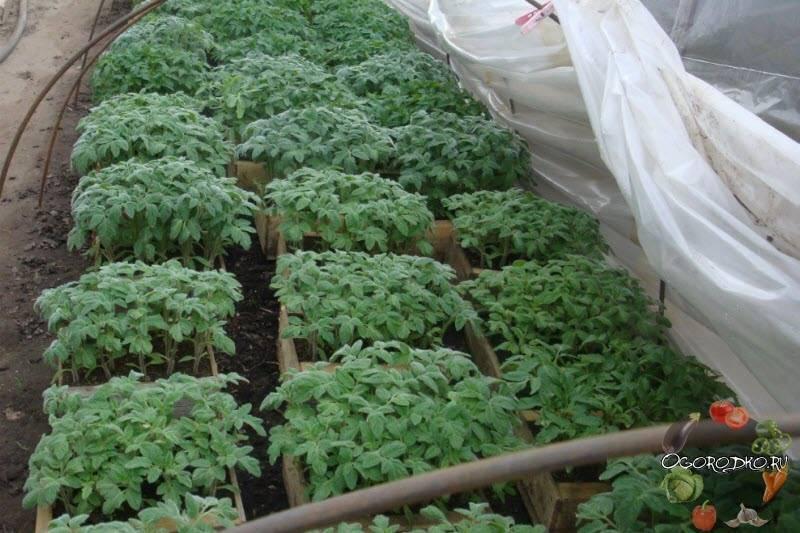 Правила подкормки помидоров