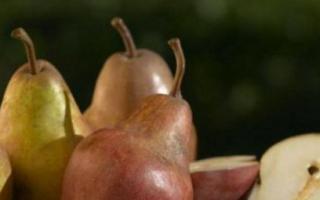 Характеристика сорта груш детская