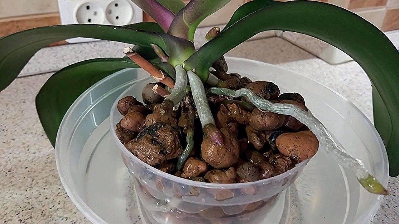 Как поливать орхидеи зимой и осенью в домашних условиях, чтобы не спровоцировать болезни и обеспечить цветение? selo.guru — интернет портал о сельском хозяйстве