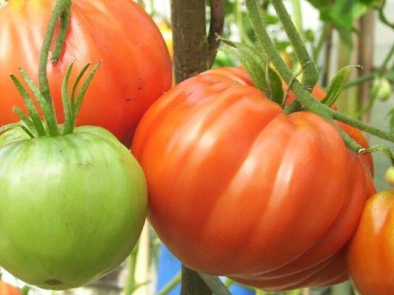 Лучшие сорта помидор для сибири