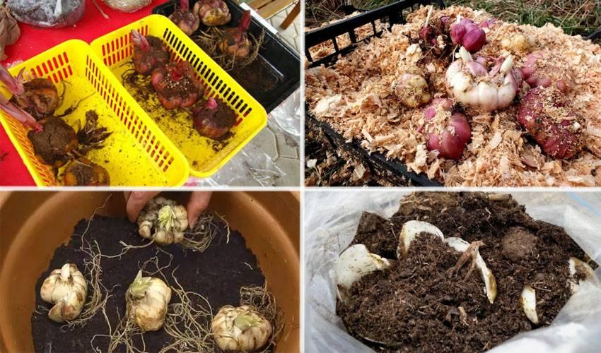 Как хранить луковицы лилии зимой (с иллюстрациями)