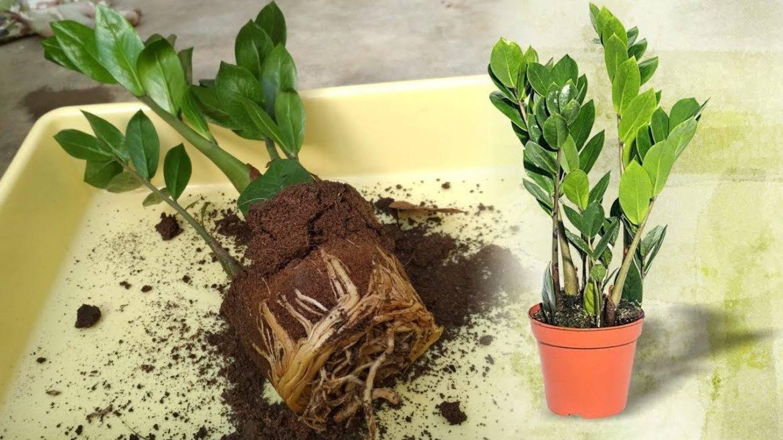 Замиокулькас – пересадка в домашних условиях, в другой горшок, правильно, весной, после покупки, фото пошагово