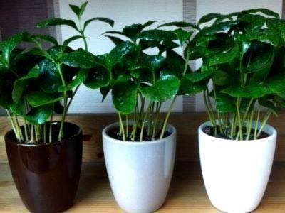 Кофейное дерево и выращивание его в домашних условиях