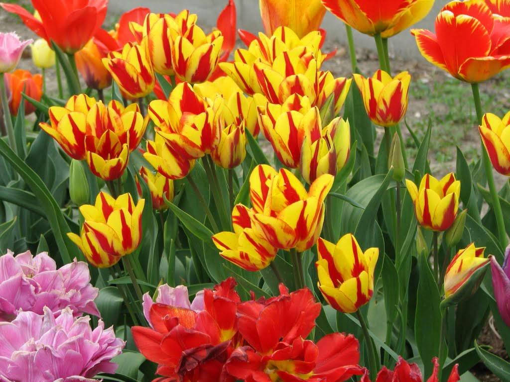 Многоцветковые тюльпаны: выращиваем правильно на supersadovnik.ru