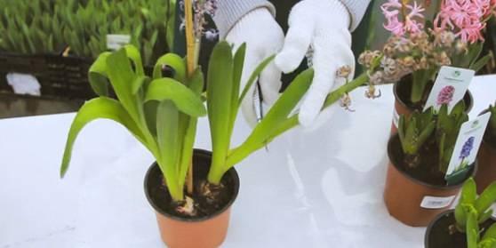 Как ухаживать за гиацинтом, и что делать после цветения