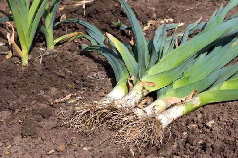 Лук порей выращивание, посадка и уход в открытом грунте