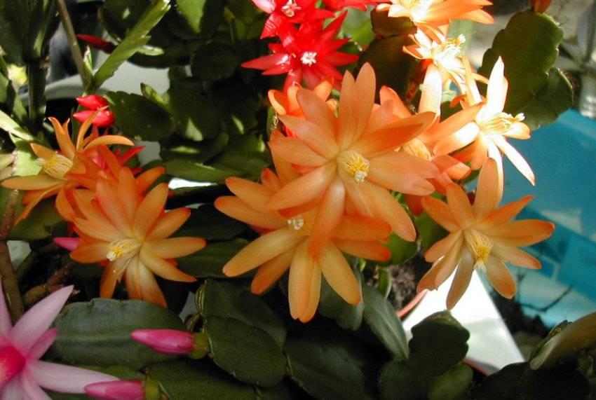 Хатиора — приметы, можно ли держать дома комнатный цветок?
