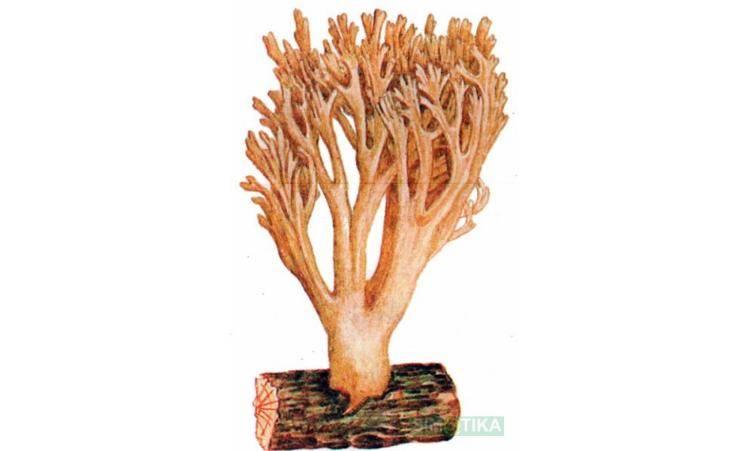Коралловые съедобные грибы: где растут, как называются | интересный сайт