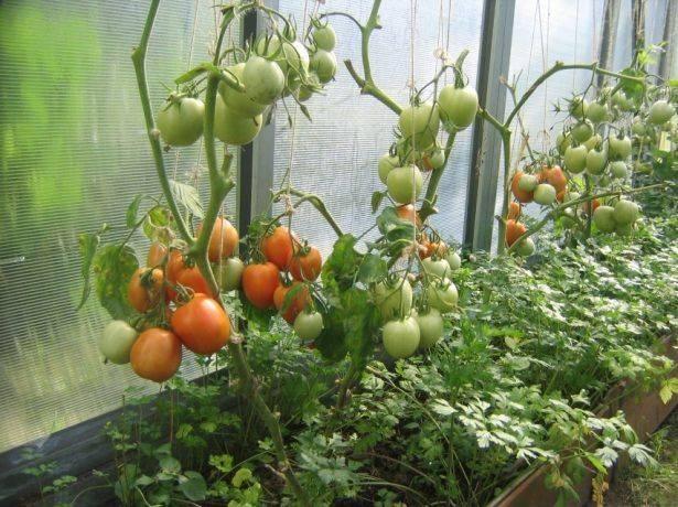 Внесение удобрений при посадке томатов