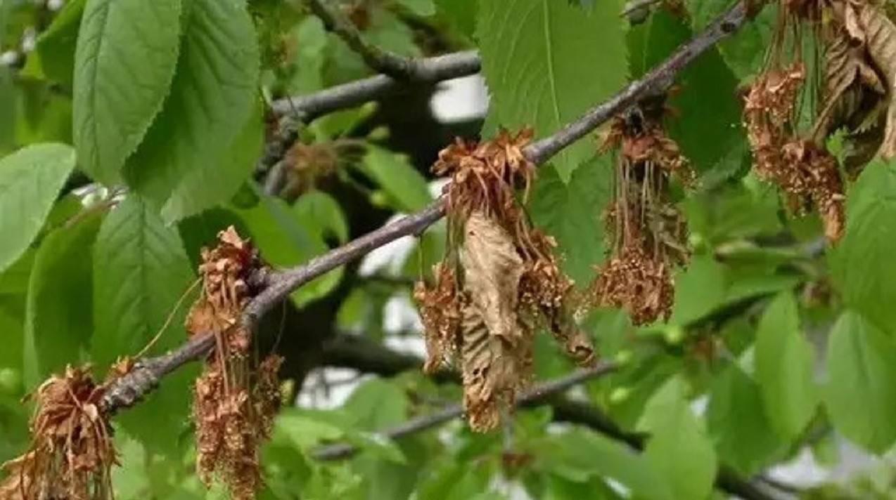 Почему сохнут ветки и листья вишни после цветения: что делать, болезнь, причина почему сохнут ветки и листья вишни после цветения: что делать, болезнь, причина