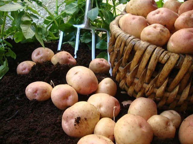 Картофель варёный — химический состав, пищевая ценность