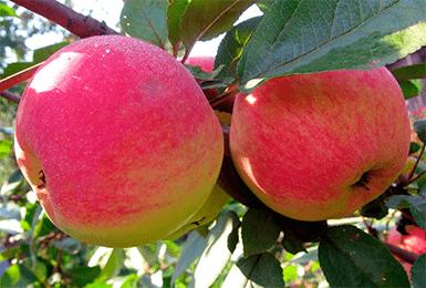 Яблоня медуница: описание сорта, фото, отзывы садоводов, видео
