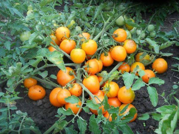 Детерминантные помидоры: что это за сорт, отличие от индетерминантного вида