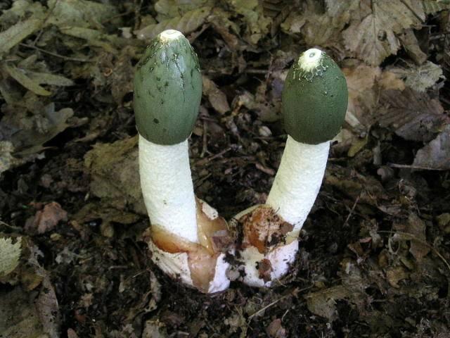 Гриб веселка обыкновенная - фото, описание, где растет, лечебные свойства и противопоказания