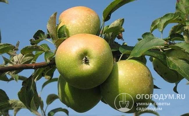 Сорт яблок семеренко: описание, фото, отзывы