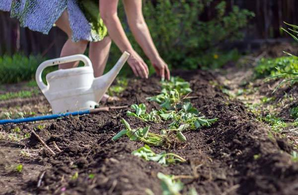 Посадка клубники осенью, как сажать и чем подкормить