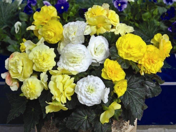 Интересные факты о родине прекрасного растения бегонии
