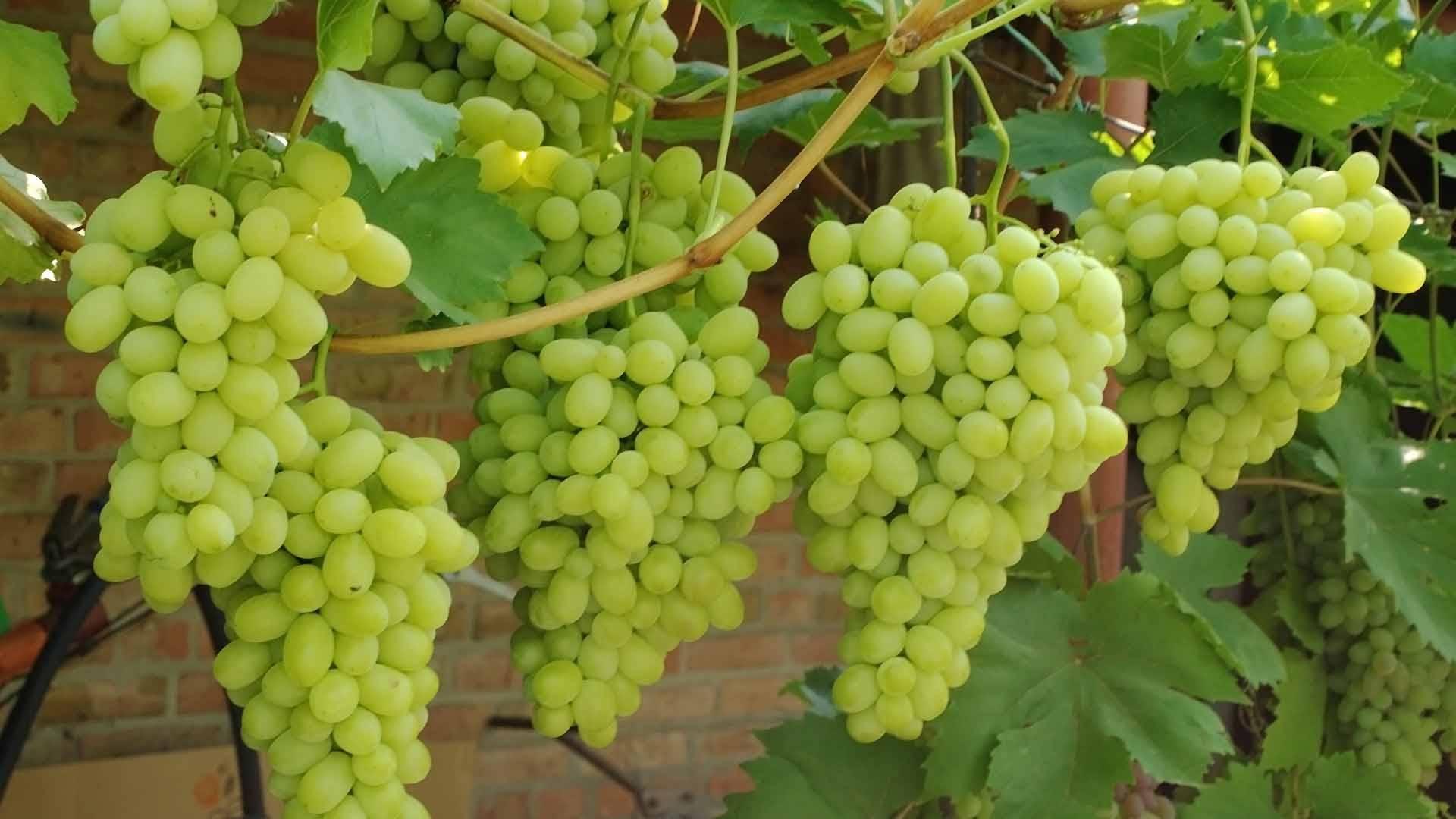 Виноград ландыш: характеристики, описание, уход
