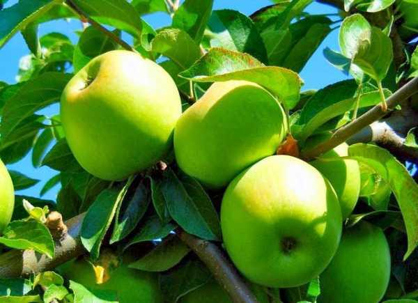 50 фото и описание сорта яблок «семеренко», ? его полезные свойства и противопоказания