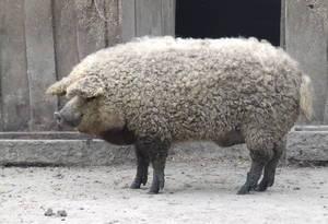 Порода свиней венгерская мангалица: описание, содержание, разведение