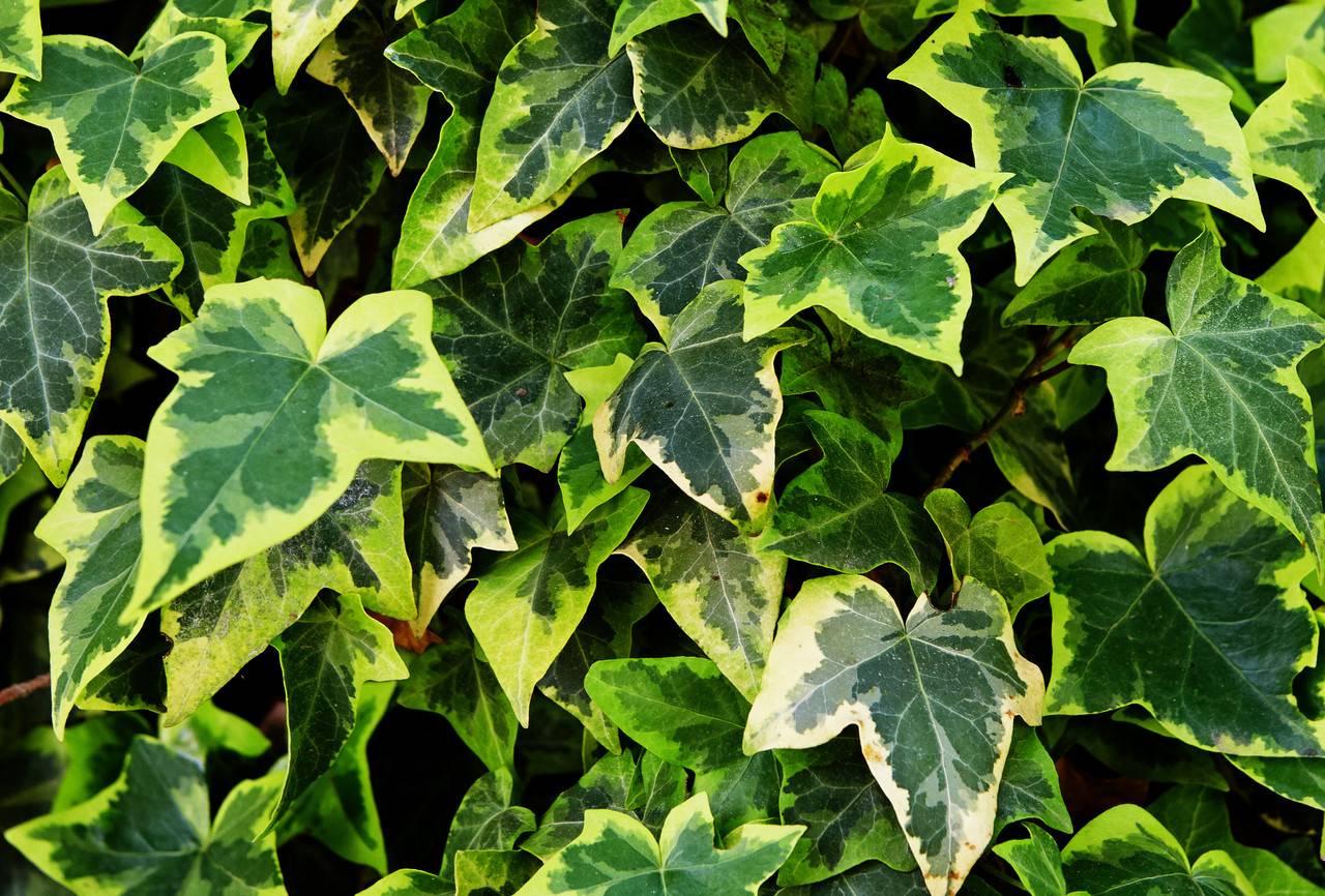 Плющ садовый (21 фото): описание морозостойкого вечнозеленого многолетнего уличного растения. как выглядит оплетенный им забор? как размножить плющ?
