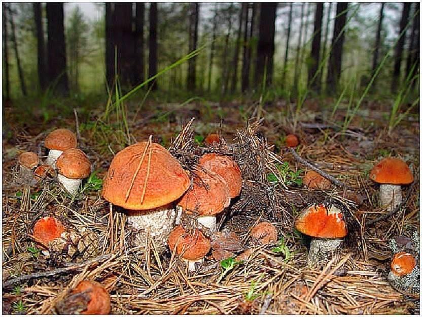 Как вырастить белые грибы на даче: возможные способы