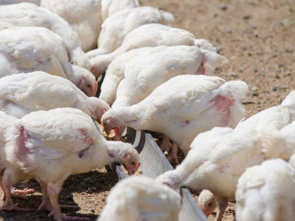 Чем кормить индюков во время откорма на мясо