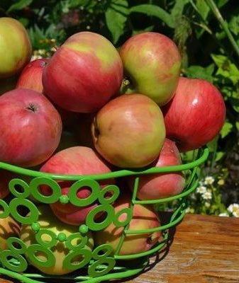 Особенности яблони июльской черненко - медоносы | описание, советы, отзывы, фото и видео