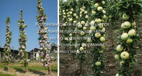 Сколько лет плодоносит яблоня — фаворит среди фруктовых деревьев