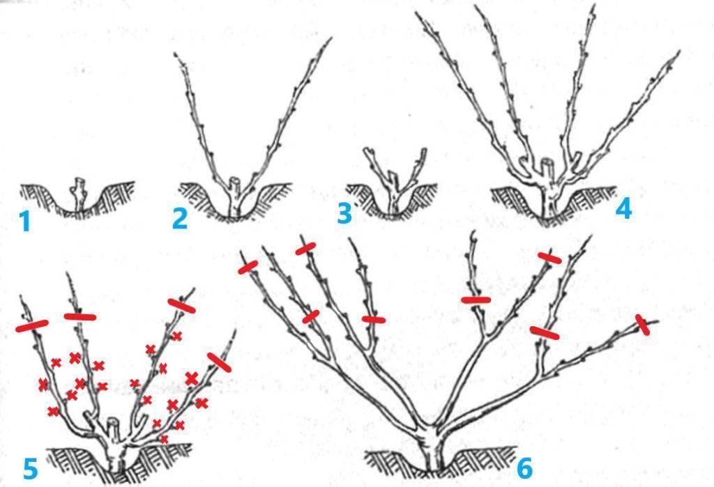 Формирование куста винограда: схема, формы, для начинающих