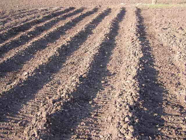 Посадка картофеля в гребни: техника и преимущества способа, видео - сад и огород