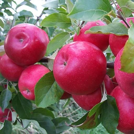 Яблоня минусинское красное: особенности сорта и ухода