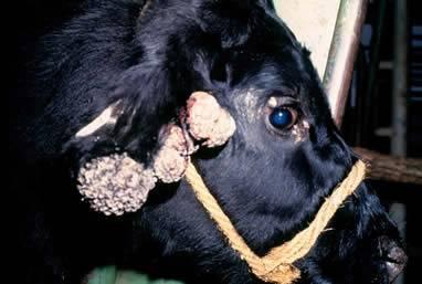 Бородавки у коровы | агропромышленный вестник
