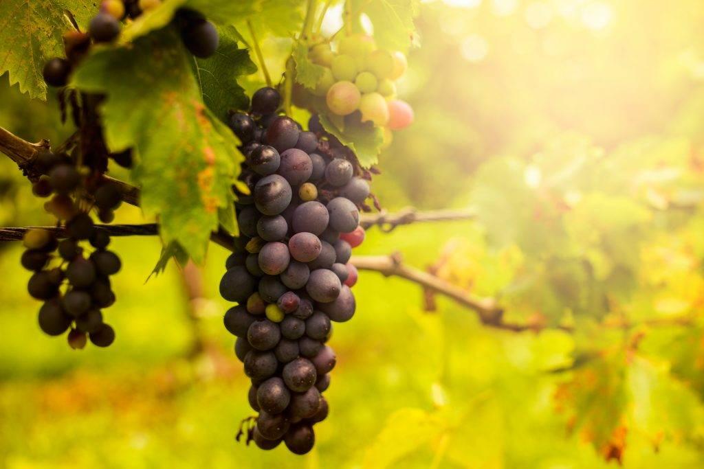 Сладкий и сочный сорт винограда «каталония»