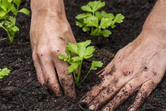 Как вырастить и ухаживать за сельдереем на даче