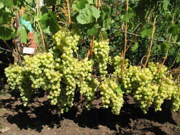 Виноград лора: описание сорта, характеристика и уход