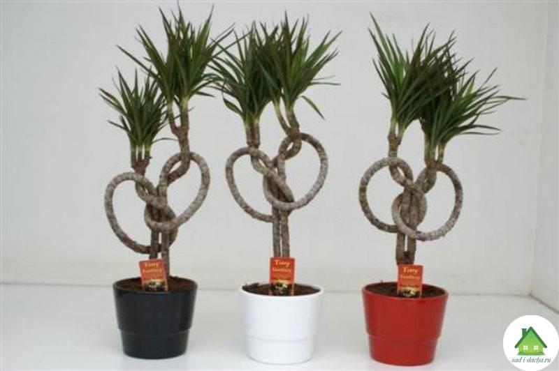 Цветок драцена: как ухаживать в домашних условиях, пересадка растения с сухими листьями и фото