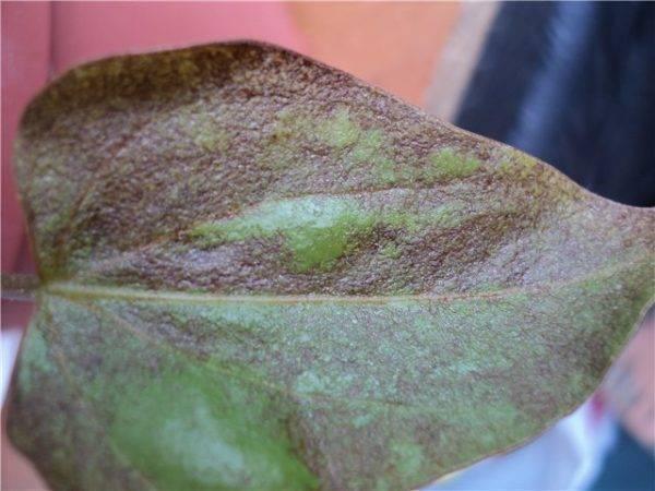 Болезни листьев антуриума — как лечить, почему чернеют и сохнут, что делать?