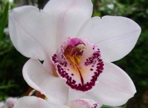 """Орхидеи: классификация, характеристика и строение растений - проект """"цветочки"""" - для цветоводов начинающих и профессионалов"""