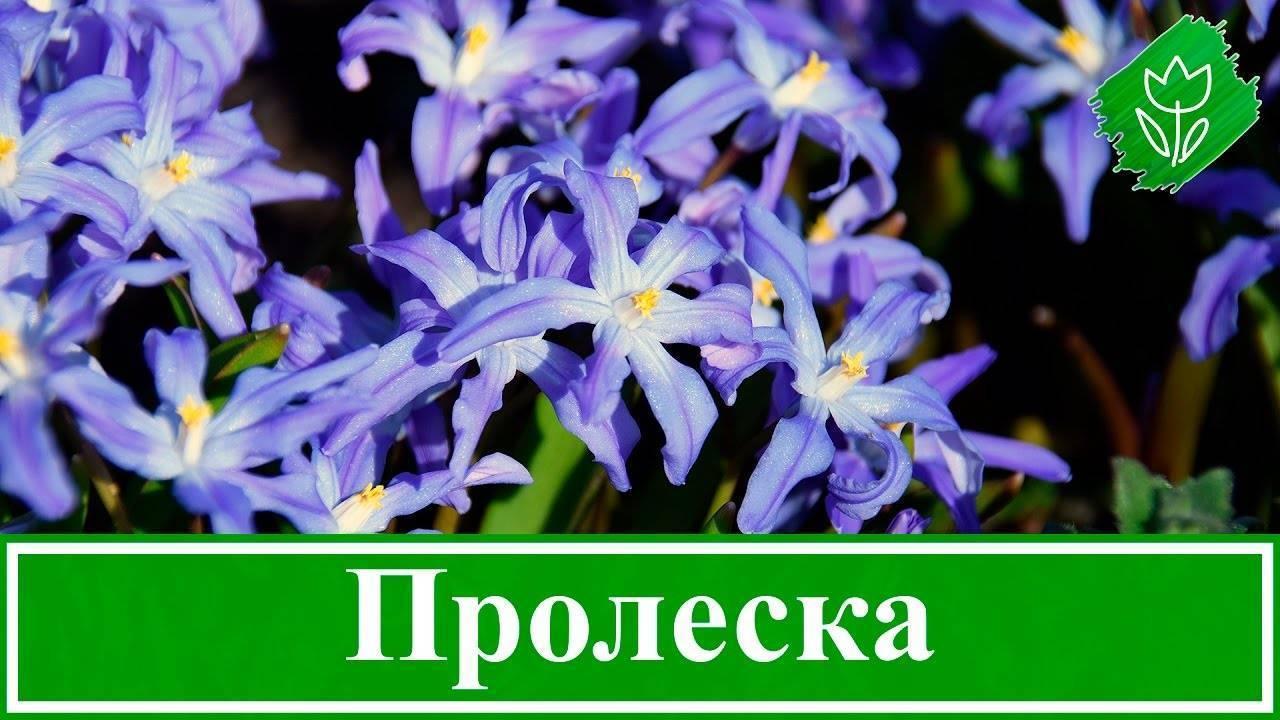 Сцилла или нежная пролеска достойна внимания цветоводов
