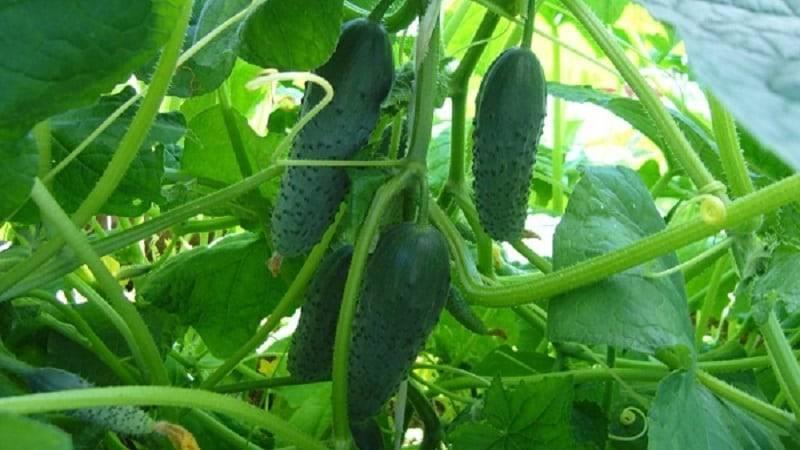 Характеристика и описание гибрида огурца паратунка f1, выращивание и уход