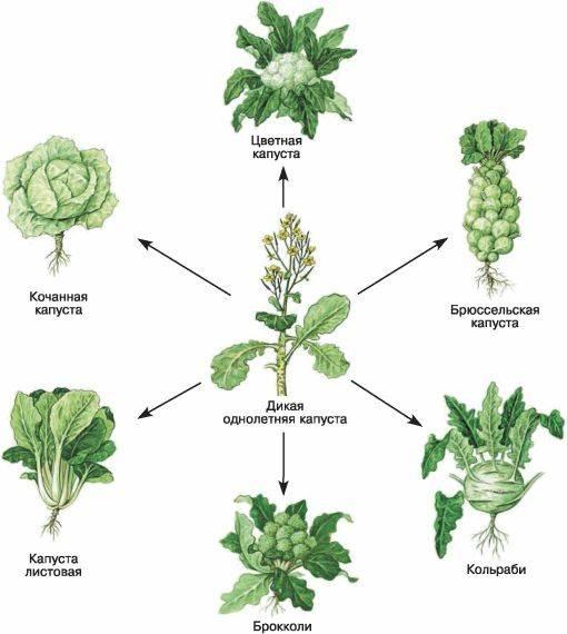 Какая бывает капуста: все виды капусты и их характеристика