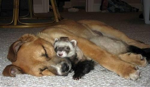 Дружат ли хорек и кошка